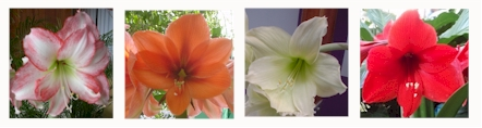amaryllis selection